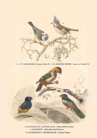 Eurasian Blue, European Crested, Yellow-Bellied Cuckoo, White-Breasted Parakeet, Collared Trogon